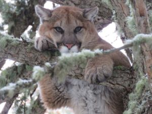 Mountain Lion Guide and Outfitter